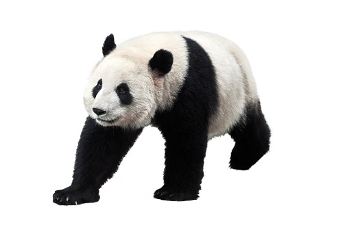 Panda isolated on white background 1023813004