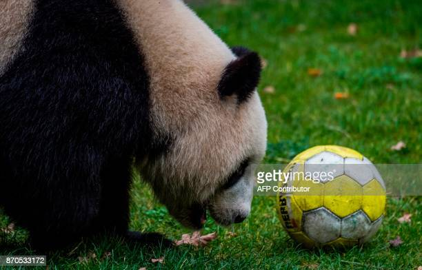 Panda Meng-Meng, on loan from China, comes up against a football as she looks for food in her enclosure at Berlin's Zoologischer Garten zoo on...