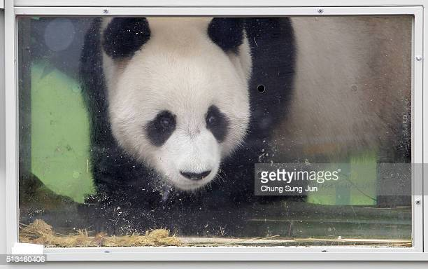 A panda named as Lebao is seen during a welcoming ceremony for a pair of giant pandas at the Incheon International Airport cargo terminal on March 3...