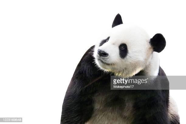 panda on white background - パンダ ストックフォトと画像