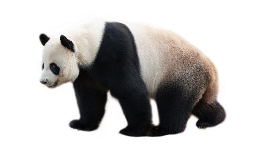 Panda  on white background. 993770054