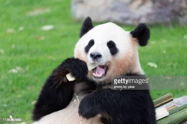 panda - パンダ ストックフォトと画像