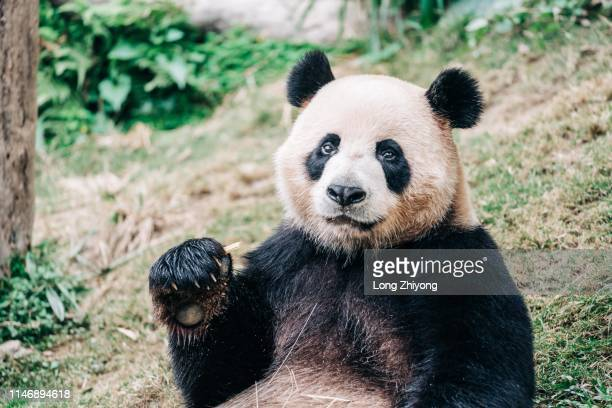 panda - giant panda stock pictures, royalty-free photos & images