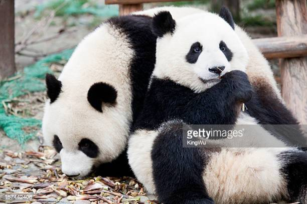 panda - panda animal stock photos and pictures