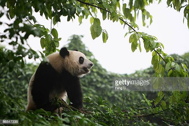A panda plays on the tree at Chengdu Graint Panda Breeding and Research Base on May 7 2009 in Chengdu of Sichuan Province China Many commemoration...