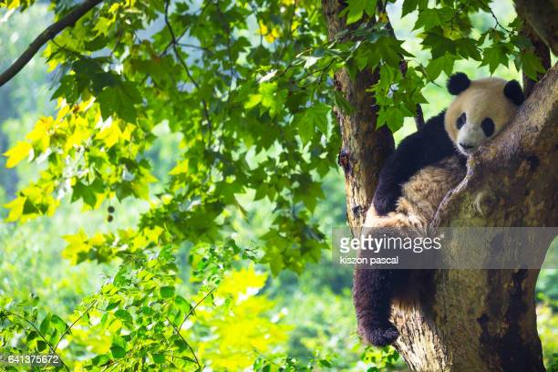 Panda resting in a tree ( Chengdu ; Sichuan ; China )