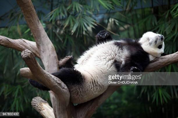 Panda se relaxant sur une branche au parc d'attraction River Safari de Singapour le 05 Avril 2016 Singapour