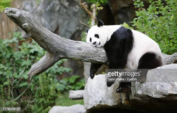 panda sleeping on branch at zoo - zoo stock pictures, royalty-free photos & images