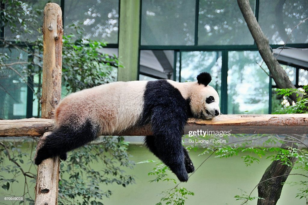 Panda Sleeping On Wooden Fence Against Glass Building : Stock Photo