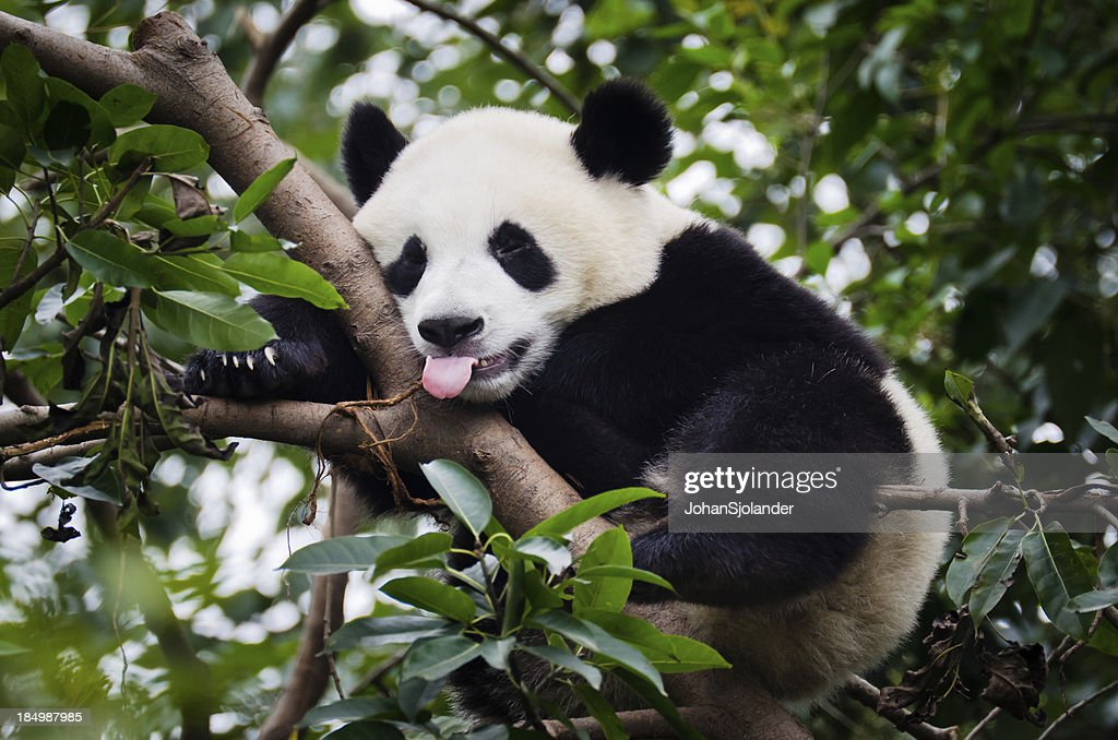 パンダ、舌出力 : ストックフォト