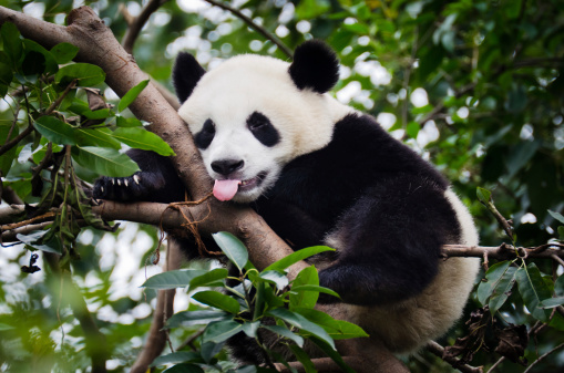 Panda with Tongue Out 184987985