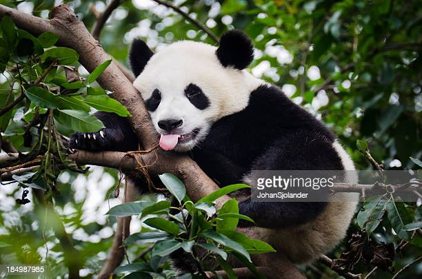 panda with tongue out - panda animal stock photos and pictures