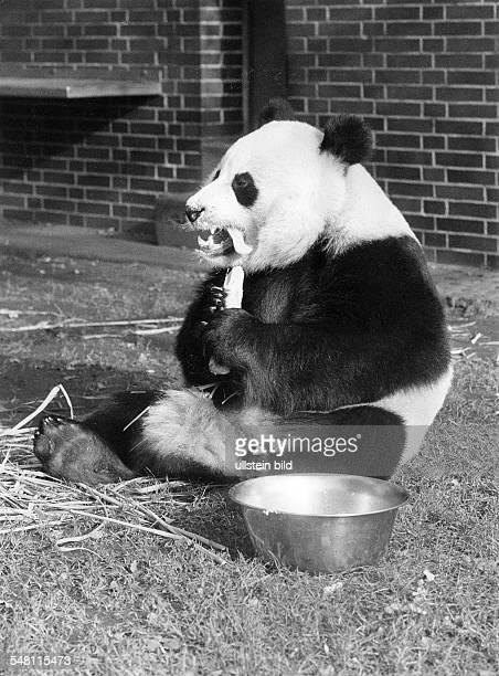 Pandabär 'Bao Bao' im Berliner Zoo - undatiert