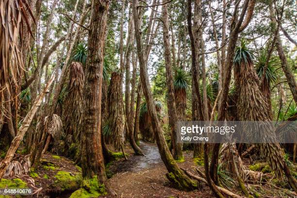 Pandani Grove in Mount Field National Park