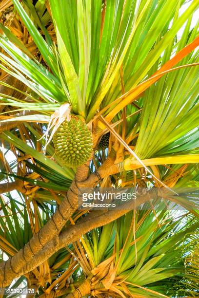 pandanus utilis - crmacedonio stock pictures, royalty-free photos & images