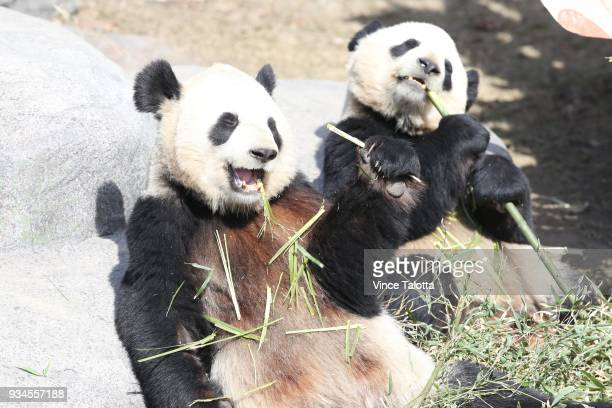 Panda's enjoying a snack and the sunshine for today is the last chance to see the giant pandas at the Toronto Zoo before the bears head west to...