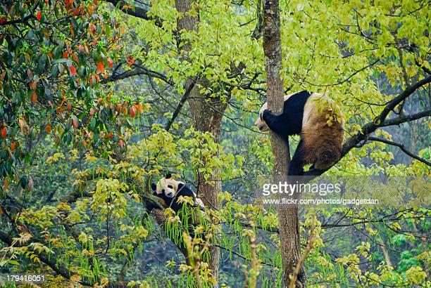 Pandas in BiFengXia