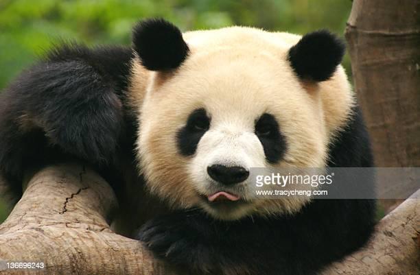 pandas - panda stock pictures, royalty-free photos & images