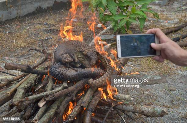 Pangolin carcasses are set on fire after a recent raid in Pekanbaru Riau province on October 25 2017 Indonesian authorities have seized more than 100...