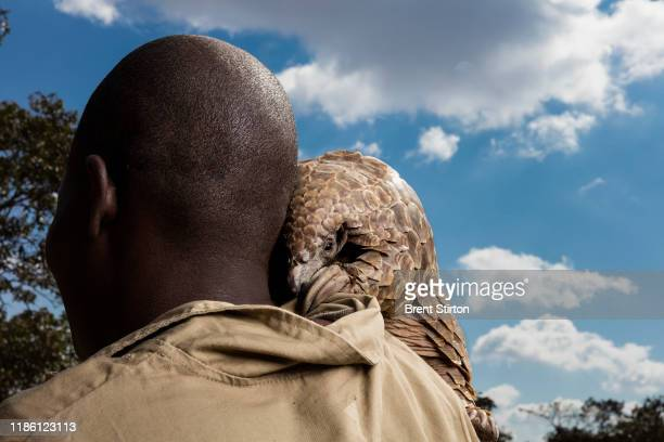Pangolin caregivers at an anonymous farm care for rescued pangolins helping them to find ants and termites to eat and keeping them safe from...