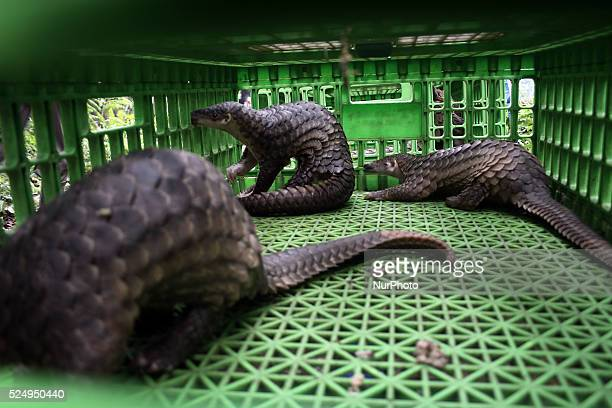 Pangolin is a protected animal in the box prison to be released into the wild after seized from the illegal trade, in forest conservation in...