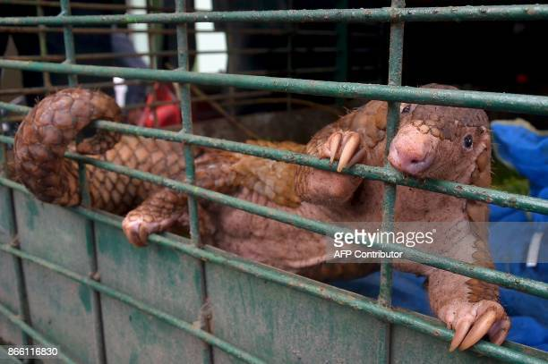 A pangolin is seen in a cage after a recent raid in Pekanbaru Riau province on October 25 2017 Indonesian authorities have seized more than 100...