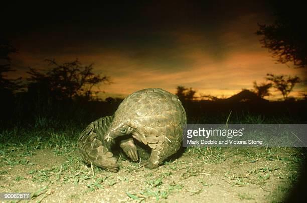 pangolin, manis temmincki, serengeti, tanzania - pangolin photos et images de collection