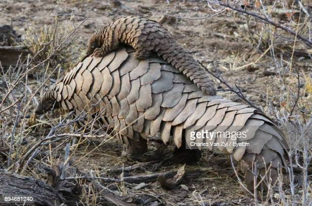 pangolins on field - schuppentier stock-fotos und bilder