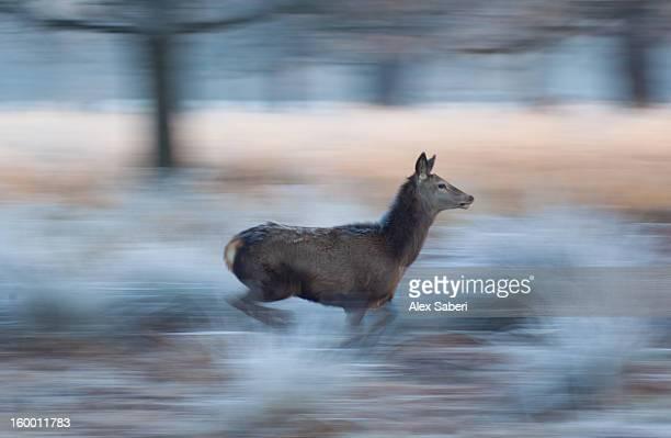 panned view of a red deer, cervus elaphus, running in winter. - alex saberi imagens e fotografias de stock