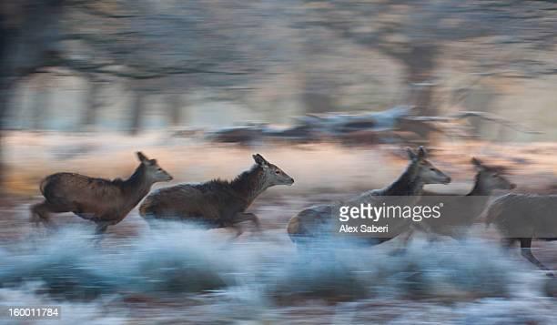 panned view of red deer, cervus elaphus, running in winter. - alex saberi imagens e fotografias de stock