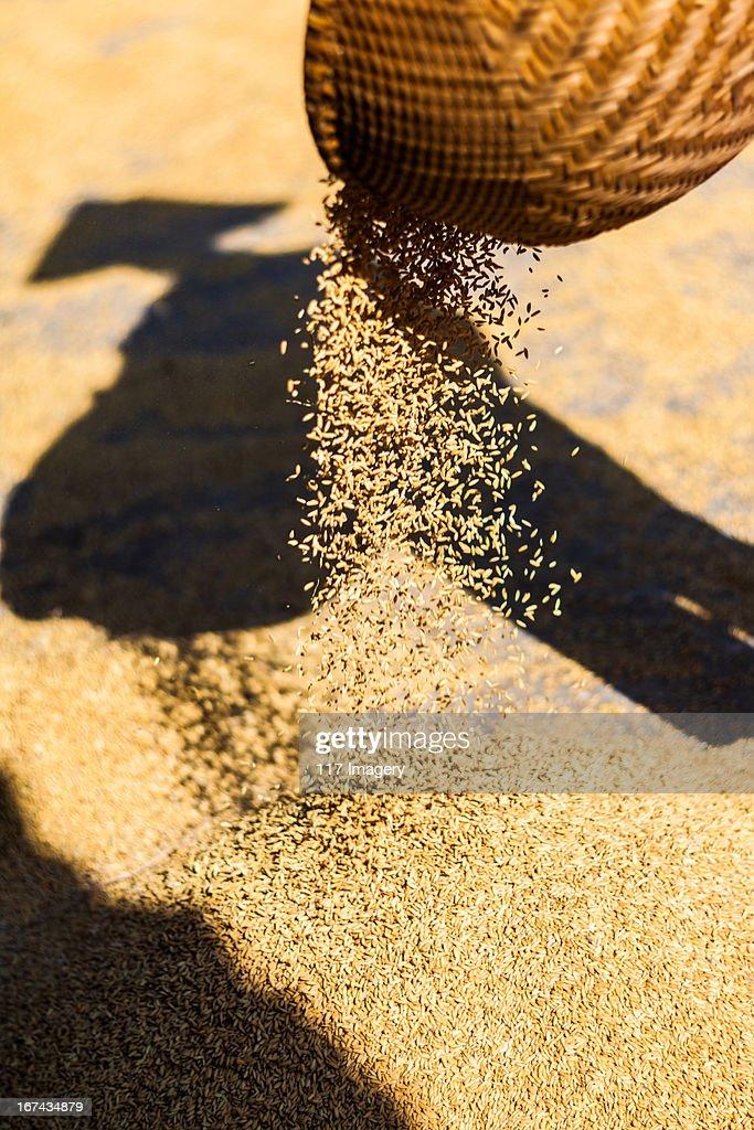 Panning rice from basket, North Vietnam : Foto de stock