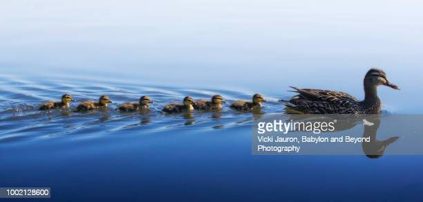 panorama in blue of duckling family swim - duck bird stock photos and pictures