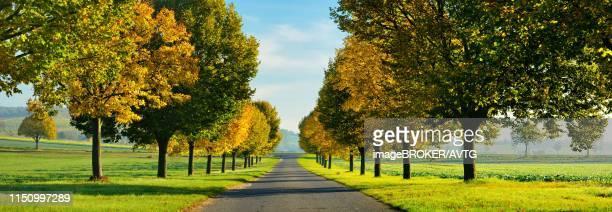 panorama, lime tree avenue with autumn colouring in autumn, burgenlandkreis, saxony-anhalt, germany - colouring bildbanksfoton och bilder