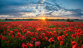 panorama of a field of red poppies against the background of the evening sky