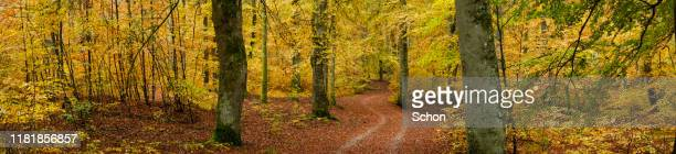 panorama of a footpath through autumnal beech forest - vaxjo stock pictures, royalty-free photos & images