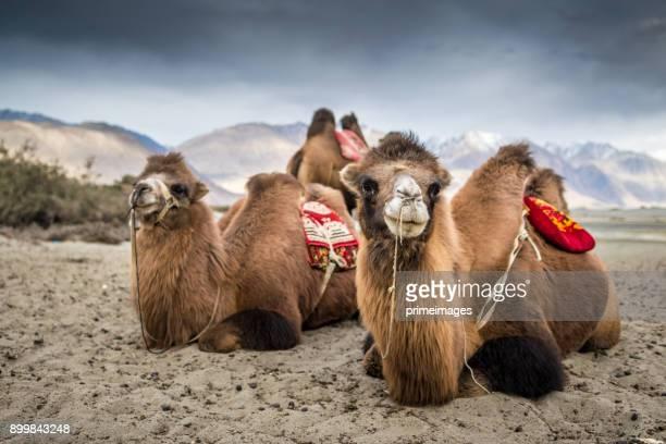 panorama d'une vue nature et du paysage en inde ladakh leh - chameau photos et images de collection