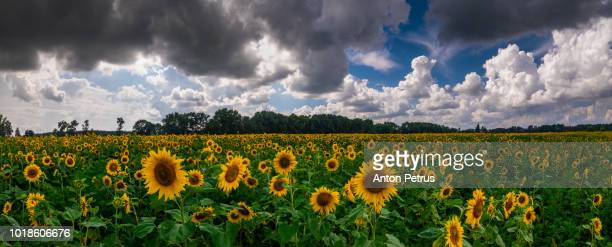 Panorama of a sunflower field in a bright sunny day