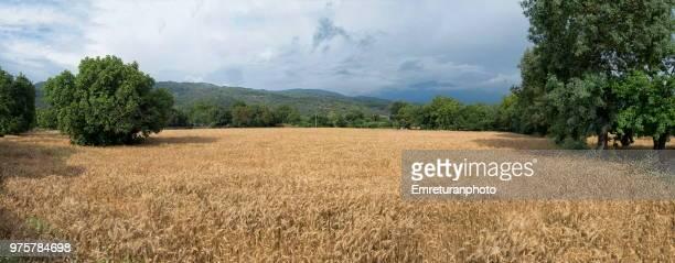 panorama of a wheat field in fethiye. - emreturanphoto stock-fotos und bilder