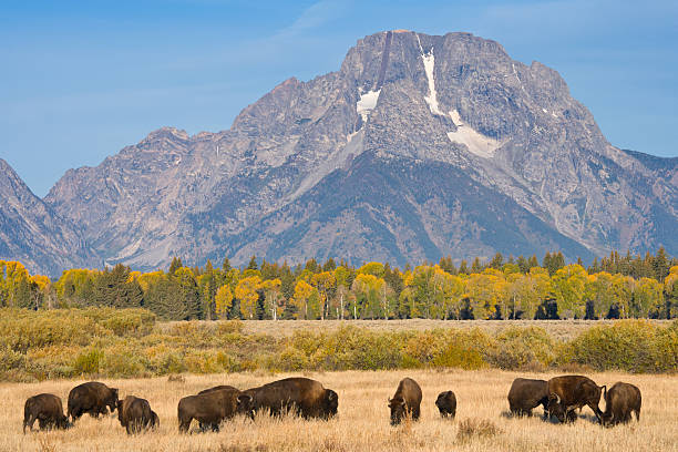 American Bison Buffalo Wall Art