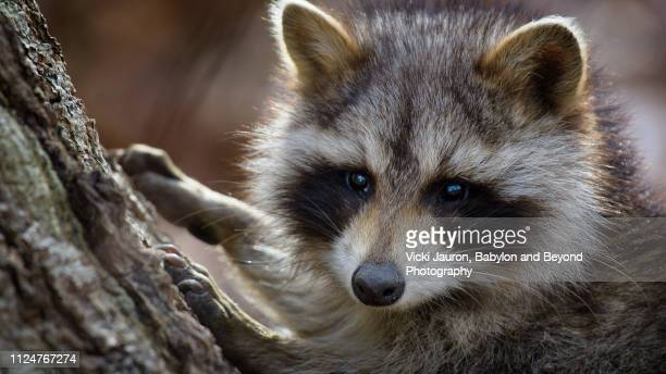 panorama of an adorable raccoon posing for camera at caumsett state park, long island - huntington suffolk county new york state stock pictures, royalty-free photos & images