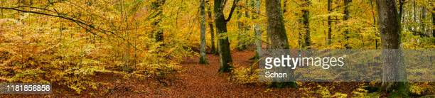 panorama of an autumn beech forest - vaxjo stock pictures, royalty-free photos & images