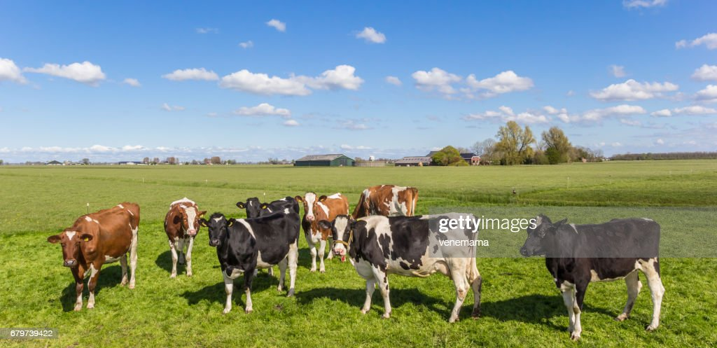 Panorama of cows in the dutch landscape near Groningen : Stock Photo