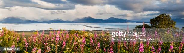 panorama of fireweed (chamaenerion angustifolium) blossoming in the foreground with homer spit, kachemak bay and the kenai mountains in the background - kachemak bay stock pictures, royalty-free photos & images