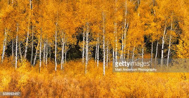 Panorama of golden aspen tree Grand Teton NP