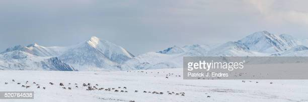 panorama of migrating caribou - tundra stock pictures, royalty-free photos & images