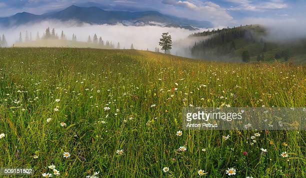 Panorama of misty dawn on a flower meadow