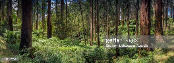 a panorama of mountain ash eucalyptus trees and ferns, tarra valley, strzelecki ranges, south gippsland victoria australia. - eucalyptus tree stock pictures, royalty-free photos & images