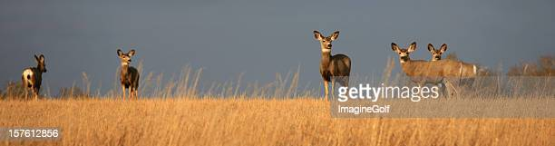 panorama of mule deer on the prairie - white tail deer stock photos and pictures
