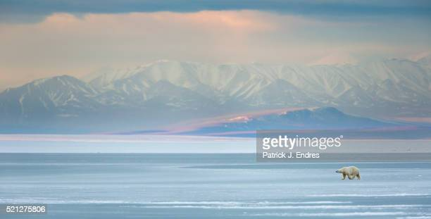 panorama of polar bear on sea ice - national wildlife reserve stock pictures, royalty-free photos & images