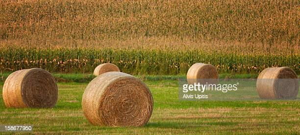 Panorama of round hay bales and a corn field
